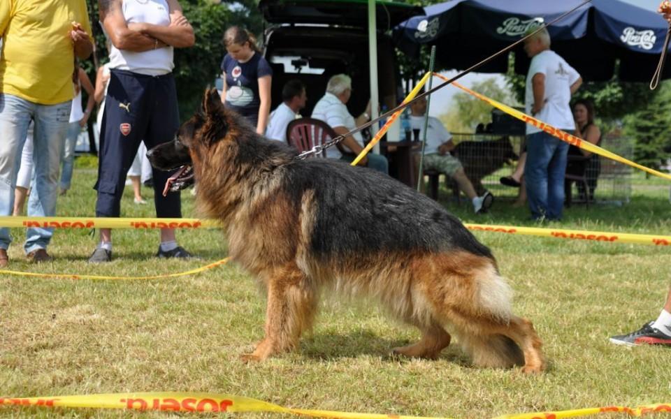 owczarek pies psy